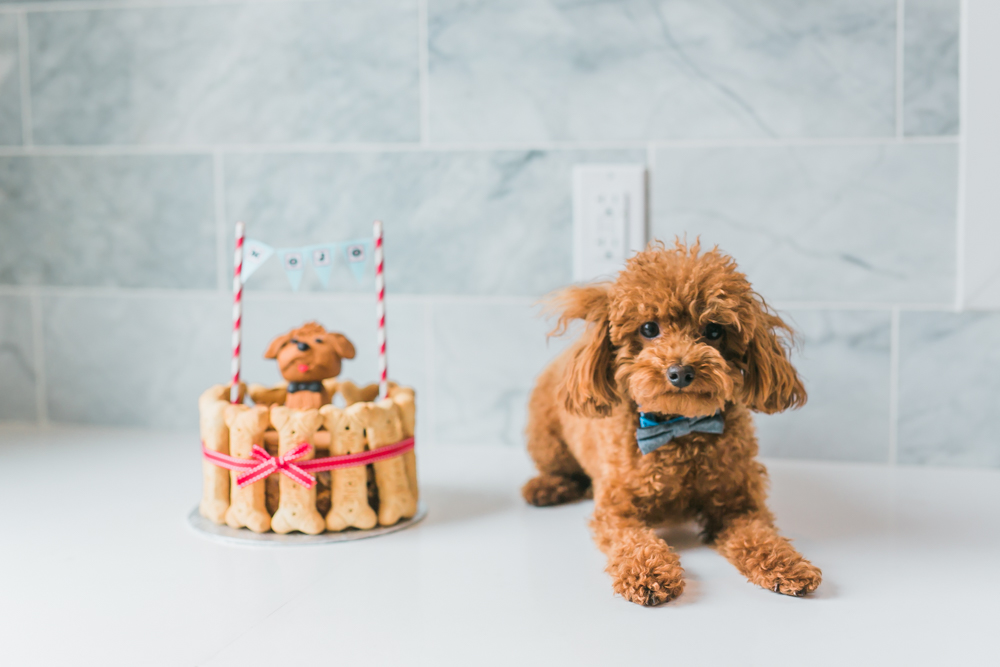 Toronto Toy Poodle Puppy Birthday Party Rhythm Photography