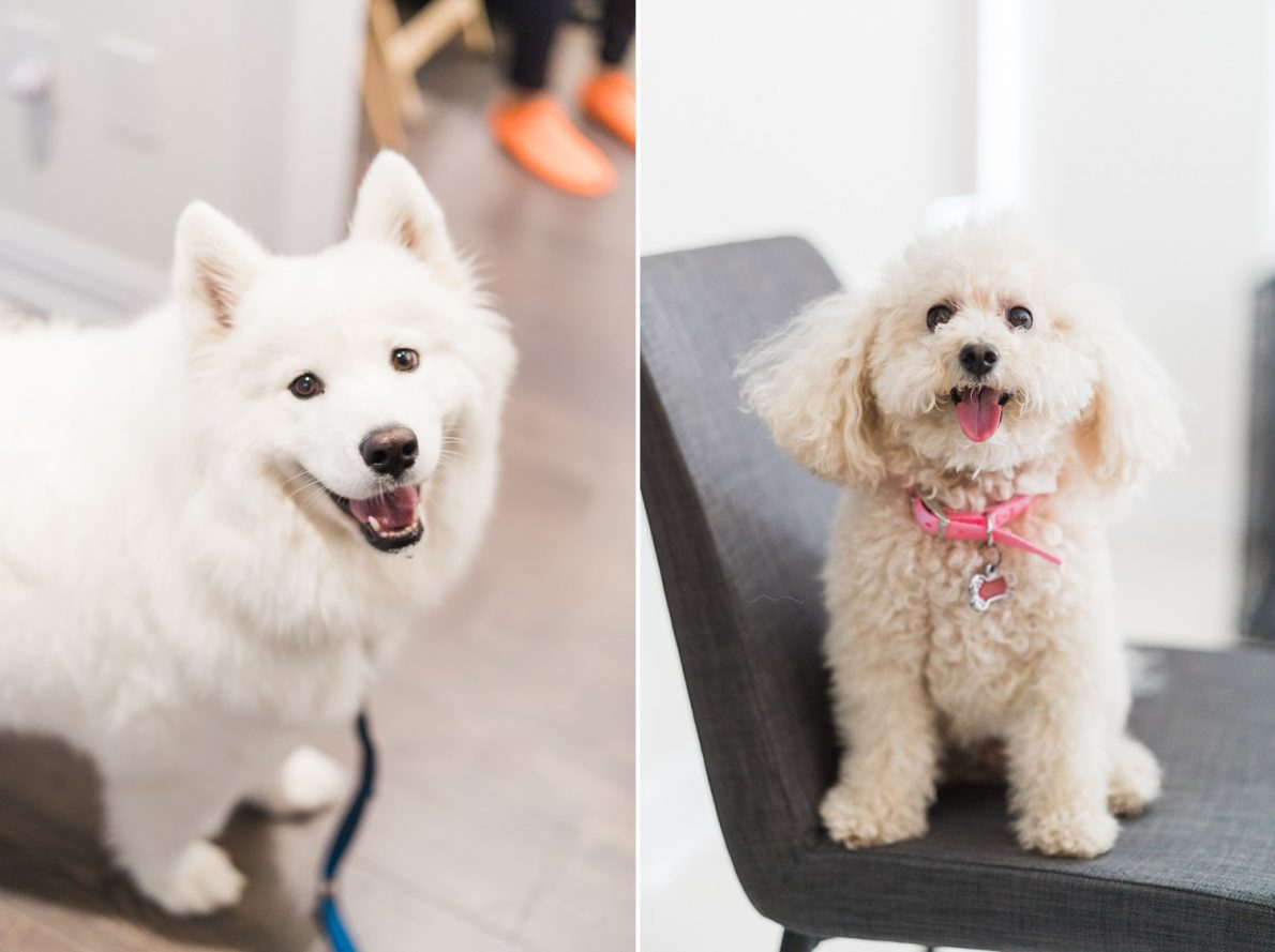 Samoyed and Toy Poodle Hong Kong Modern Guild Inn Wedding Photos