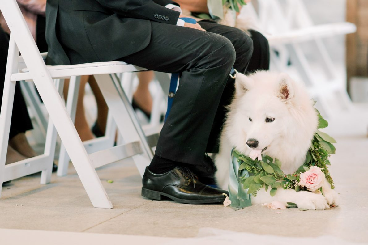 Cute Samoyed Puppy Hong Kong Modern Guild Inn Wedding Photos