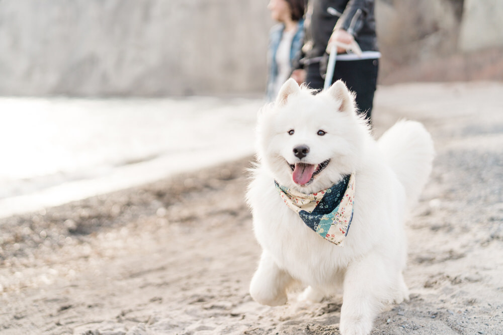 Samoyed_Puppy_Scarborough_Bluffs_Toronto_Engagement_Photos_with_Dog_Samoyed-Rhythm_Photography