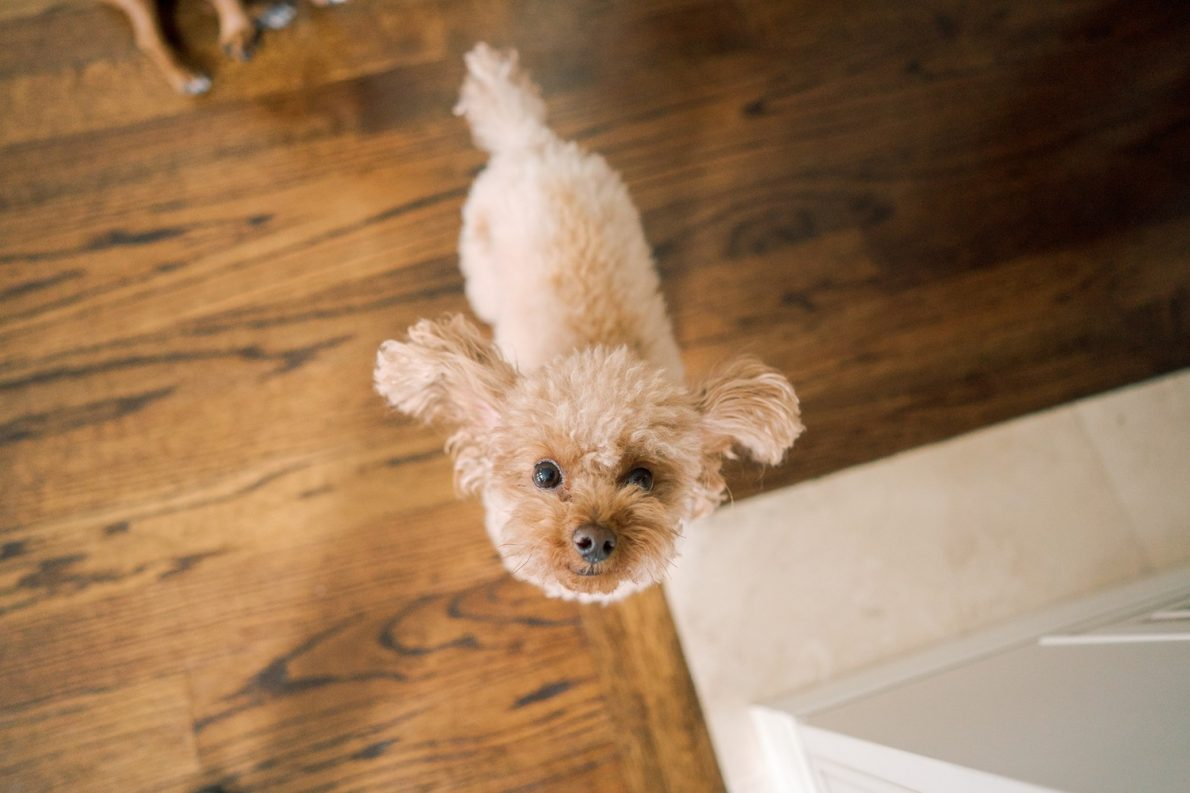 Cute Brown Toy Poodle Toronto Dog Birthday Party Toronto Pet Photographer